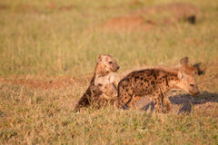 Spotted Hyena Puppies Royalty Free Stock Photos