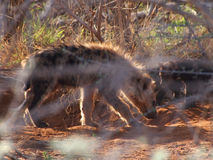 Spotted hyena puppies Royalty Free Stock Photo