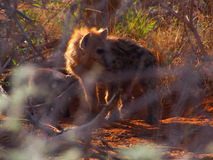 Spotted hyena puppies Stock Image