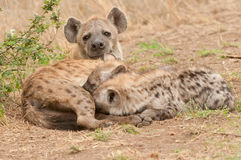 Spotted hyena with pups. Social. Large (60-80kg) carnivore / scavenger; effective when hunting in a pack; shoulders heigher than rump; fawn-yellow, dark-spotted Royalty Free Stock Photo