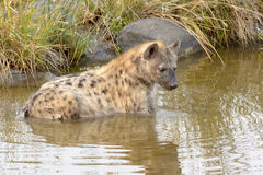 Spotted Hyena relaxing in water. Spotted Hyena Crocuta crocuta in water, Kruger National Park, South Africa Stock Photo