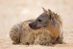Spotted hyena resting - Kalahari desert stock image