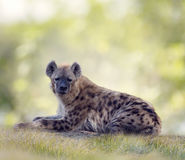 Spotted hyena resting Stock Photo