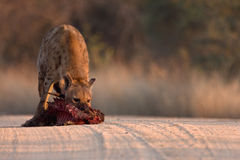 Spotted Hyena in road. Spotted Hyena in dirt road with dropped bushbuck carcass Stock Photos