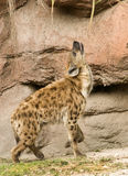 Spotted Hyena by Rock. In howling position Stock Images