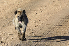 Spotted Hyena running towards you. Spotted Hyena running forwards with mouth open on dirt road with tyre tracks Stock Photos