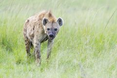 Spotted hyena on savanna, side view. stock photography
