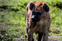 Spotted hyena in Serengeti Royalty Free Stock Photography