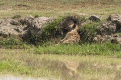 Spotted Hyena sleeping Stock Image