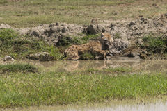 Spotted Hyena sleeping Stock Images
