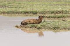 Spotted Hyena sleeping Royalty Free Stock Image