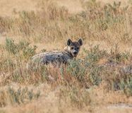 Spotted Hyena. A solitary Spotted Hyena in Namibian savanna Royalty Free Stock Image