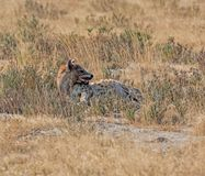 Spotted Hyena. A solitary Spotted Hyena in Namibian savanna Stock Image