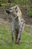 Spotted Hyena Royalty Free Stock Image