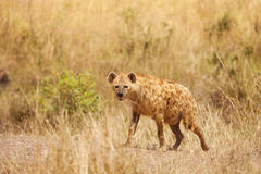 Spotted hyena stands alert in dried grass Stock Image