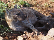 Spotted hyena suckling pup Royalty Free Stock Image