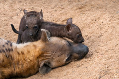 Spotted Hyena with two cubs. Mantobeni, South Africa Stock Images