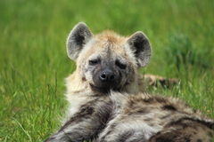Spotted hyena. The upped body of lying spotted hyena royalty free stock images