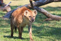 Spotted Hyena Walking in Green Grass Stock Photos