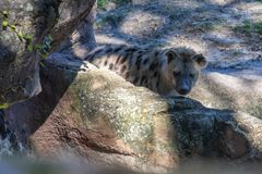 Spotted hyena walking in the zoo royalty free stock images