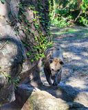 Spotted hyena walking at the zoo stock photo