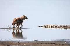 Spotted hyena walks on Water (Crocuta crocuta), Stock Images
