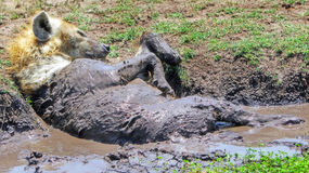 Spotted Hyena wallowing in a pool of Mud. A spotted Hyeana rolling about in a pool of Mud to cool down in Masai Mara, Kenya, Eastern Africa Stock Image