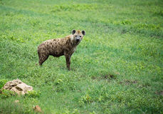 Spotted hyena watching for danger in Serengeti National Park of Africa Stock Photo