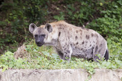 Spotted Hyena watching Royalty Free Stock Image