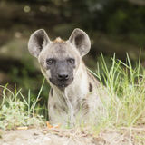 Spotted Hyena watching Stock Photos