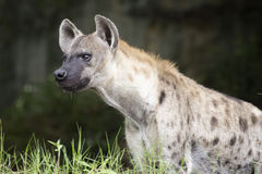 Spotted Hyena watching something Stock Photos