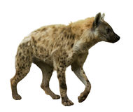 Spotted hyena on white Stock Photo