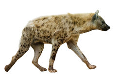 Spotted hyena  on white Royalty Free Stock Photo