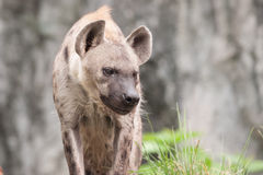 Spotted hyena. In the wild royalty free stock image