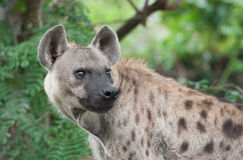 Spotted hyena. A spotted hyena in the wild stock photo