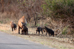 The spotted hyena (Crocuta crocuta),  young hyena Stock Images