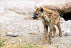 Spotted hyena. Young spotted hyena in the Amboseli national park, Kenya Royalty Free Stock Image