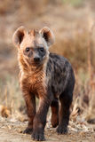 The spotted hyena, young baby. The spotted hyena & x28;Crocuta crocuta& x29; young hyena in the evening sun with brown background stock image