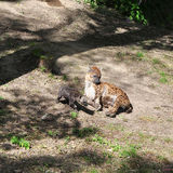 Spotted hyena with young one Stock Photography