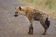 Spotted hyena youngster. A young spotted hyena standing in the rain in South Africa's Kruger National Park Royalty Free Stock Photo