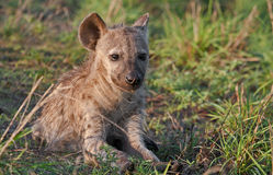 Spotted hyena youngster basking in the sun. A young spotted hyena basking in the morning sun in the Greater Kruger Transfrontier Park, South Africa stock images