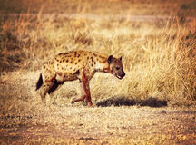 Spotted hyena. In zambia national park Royalty Free Stock Photography