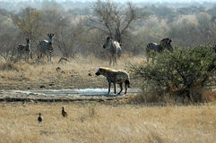 Spotted Hyena with zebra stock images