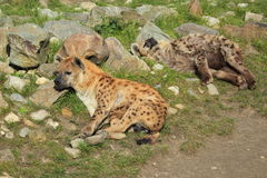 Spotted hyenas Royalty Free Stock Photography