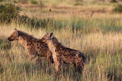 Spotted hyenas in grassy field Stock Photography