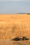Spotted Hyenas, Masai Mara Stock Photo