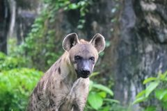 Spotted hyenas - Spotted Hyena may kill as many as 95% of the animals they eat. Spotted hyenas may kill as many as 95% of the animals they eat,[5] while striped royalty free stock images