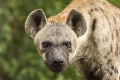 Spotted Hyenas Stock Image