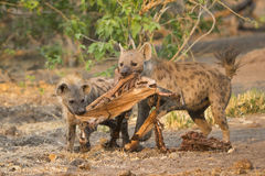 Spotted Hyenas with skin and bones Stock Image