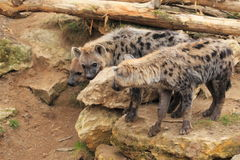 Spotted hyenas Stock Photography
